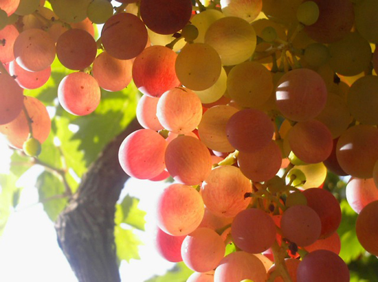 03-Grapes-France
